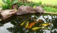 การเสริมฮวงจุ้ยบ้าน ด้วยการเลี้ยงปลาคาร์ฟ